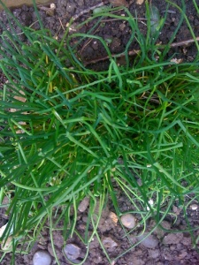 Chives - feel free to use photo as long as you link to groweatgift.com