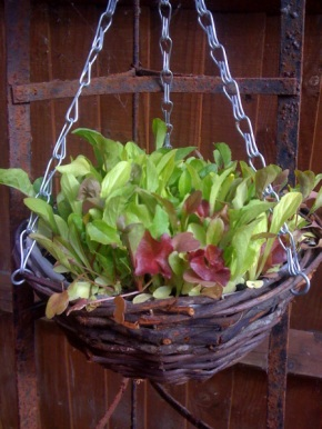 Cook's containers #1: Lettuce hanging basket