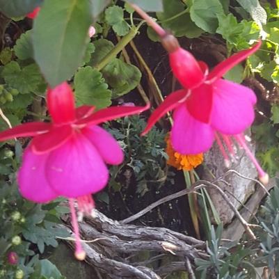 Fuscia fairies