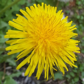 Folklore Thursday: Dandelion Love