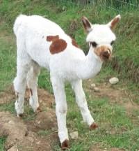 Feisty alpaca