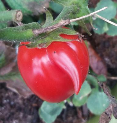 Tim the Tomato