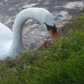 Swan Watching