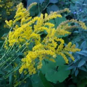 Folklore Thursday: Floral Folklore –Goldenrod